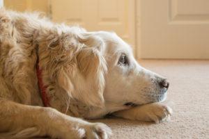 Odstranění zvířecich chlupu a pachu z koberce